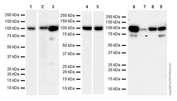 Western blot - Anti-LGALS3BP antibody [EPR21757-33] (ab217572)