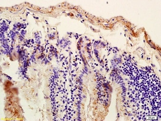 Immunohistochemistry (Formalin/PFA-fixed paraffin-embedded sections) - Anti-SUR1 antibody (ab217633)