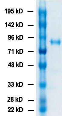 SDS-PAGE - Recombinant Influenza A Virus Hemagglutinin H3 protein (ab217647)