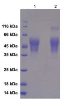 SDS-PAGE - Recombinant Influenza A Hemagglutinin protein (His tag) Strain California/07/2009/H1N1 (ab217662)