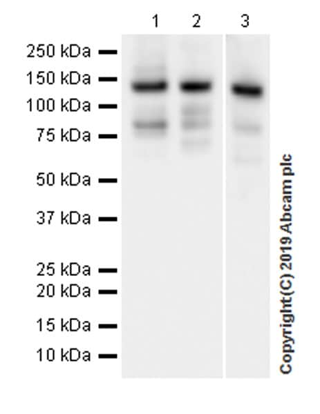Western blot - Anti-Rad21 antibody [EPR22506-15] - ChIP Grade (ab217678)