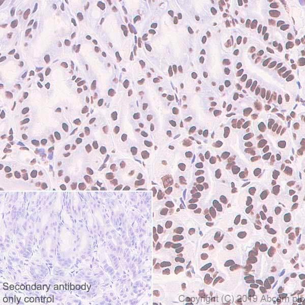 Immunohistochemistry (Formalin/PFA-fixed paraffin-embedded sections) - Anti-Rad21 antibody [EPR22506-15] - ChIP Grade (ab217678)