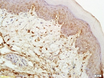 Immunohistochemistry (Formalin/PFA-fixed paraffin-embedded sections) - Anti-Mu Opioid Receptor antibody (ab217766)