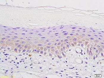Immunohistochemistry (Formalin/PFA-fixed paraffin-embedded sections) - Anti-Mu Opioid Receptor antibody (ab217766)