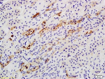 Immunohistochemistry (Formalin/PFA-fixed paraffin-embedded sections) - Anti-Catalase antibody (ab217793)