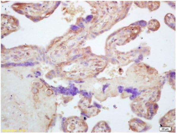 Immunohistochemistry (Formalin/PFA-fixed paraffin-embedded sections) - Anti-NOD1 antibody (ab217798)