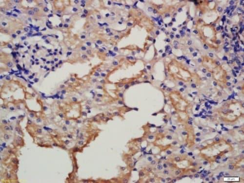 Immunohistochemistry (Formalin/PFA-fixed paraffin-embedded sections) - Anti-Pro-neuregulin-1, membrane-bound isoform antibody (ab217805)