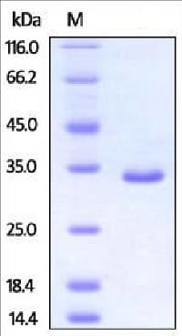 SDS-PAGE - Recombinant Human PSME3 protein (His tag) (ab217811)