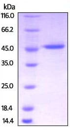SDS-PAGE - Recombinant Human Creatine kinase B type protein (His tag) (ab217816)