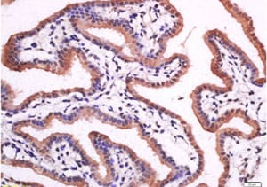 Immunohistochemistry (Formalin/PFA-fixed paraffin-embedded sections) - Anti-15-PGDH antibody (ab217848)