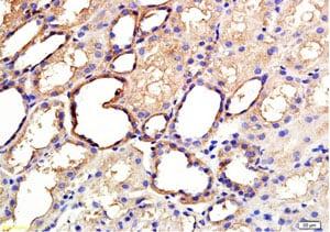 Immunohistochemistry (Formalin/PFA-fixed paraffin-embedded sections) - Anti-ANGPTL3 antibody (ab217865)