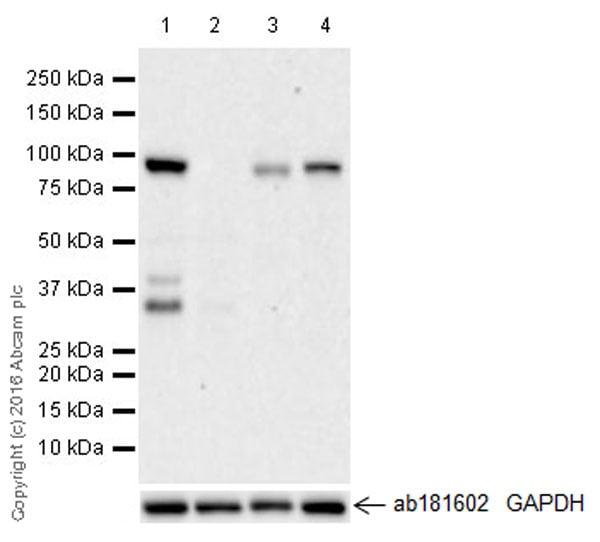 Western blot - Anti-KAT2A / GCN5 antibody [EPR21146] - ChIP Grade (ab217876)