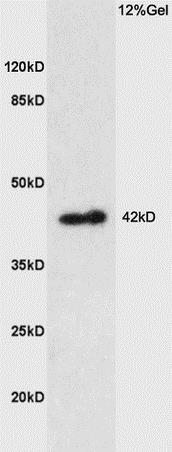 Western blot - Anti-Prostaglandin E Receptor EP1/PTGER1 antibody (ab217925)