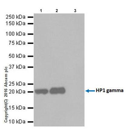 Immunoprecipitation - Anti-HP1 gamma/CBX3 antibody [EPR19802] (ab217999)