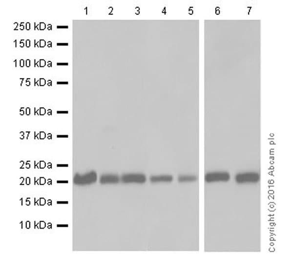 Western blot - Anti-HP1 gamma/CBX3 antibody [EPR19802] (ab217999)