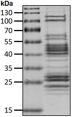 SDS-PAGE - Recombinant cow 26S Proteasome protein (ab218002)