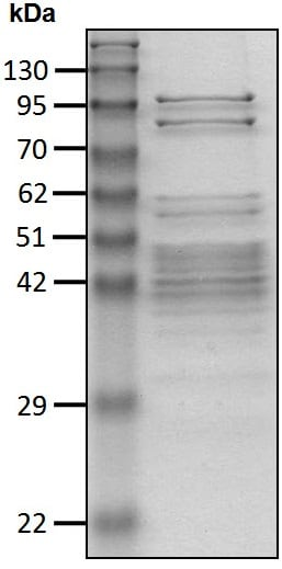 SDS-PAGE - Native Cow 19S Proteasome protein (ab218004)