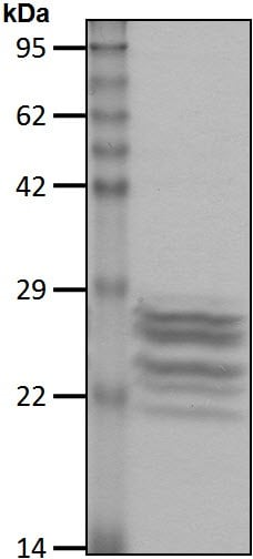 SDS-PAGE - Native Cow 20S Proteasome protein (ab218005)