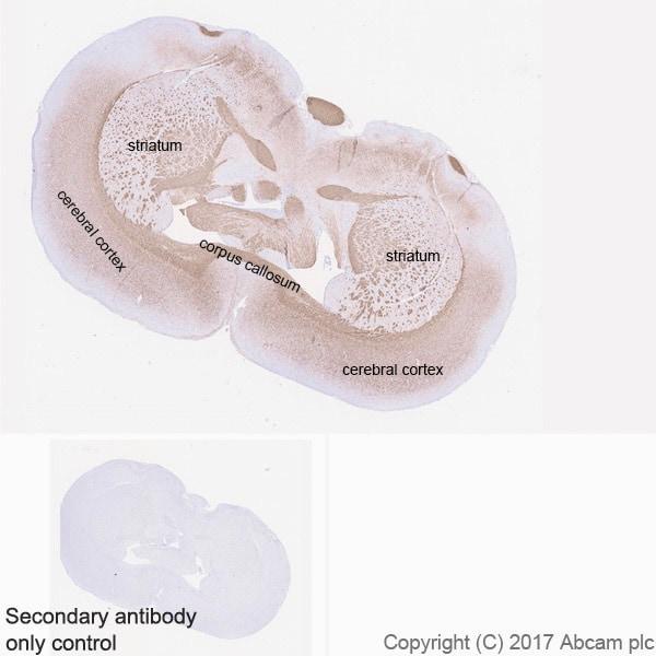 Immunohistochemistry (Formalin/PFA-fixed paraffin-embedded sections) - Anti-Myelin Basic Protein antibody [EPR21188] (ab218011)