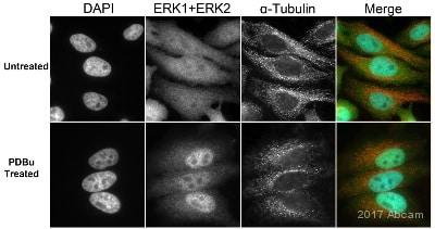 Immunocytochemistry - Anti-ERK1 + ERK2 antibody [EPR17526] - BSA and Azide free (ab218017)
