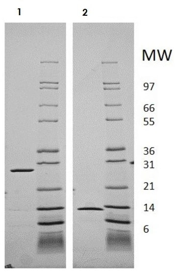 SDS-PAGE - Recombinant human IL-5 protein (Active) (ab218077)