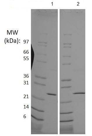 SDS-PAGE - Recombinant mouse FGF8 protein (ab218082)