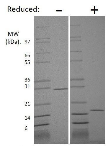 SDS-PAGE - Recombinant human GDNF protein (Animal Free) (ab218088)