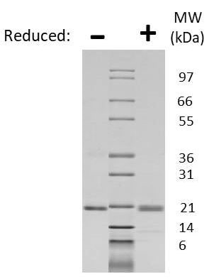 SDS-PAGE - Recombinant human KGF protein (Active) (ab218091)