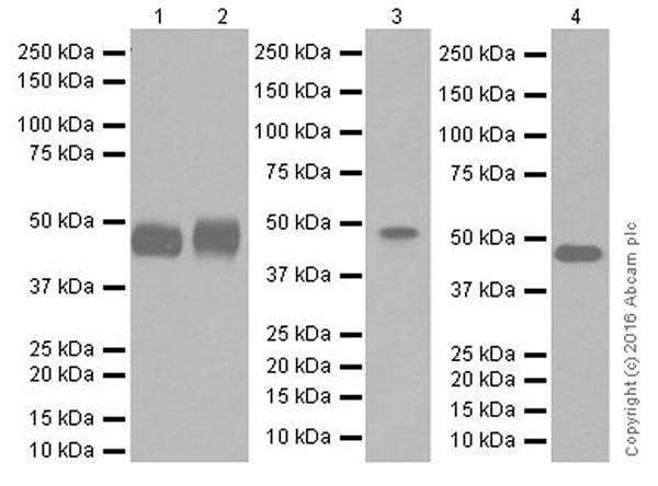 Western blot - Anti-AP2 gamma/TFAP2C antibody [EPR20331] (ab218107)