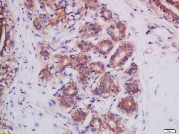 Immunohistochemistry (Formalin/PFA-fixed paraffin-embedded sections) - Anti-Mitofusin 2 antibody (ab218162)