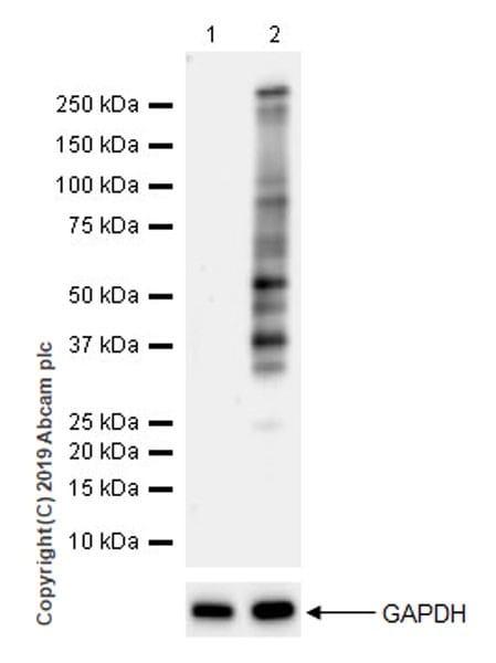 Western blot - Anti-Phosphothreonine antibody [EPR22006-23] (ab218195)