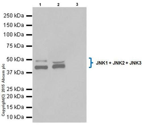 Immunoprecipitation - Anti-JNK1+JNK2+JNK3 antibody [EPR18841-95] - BSA and Azide free (ab218200)