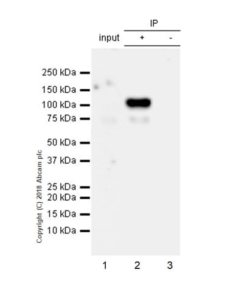Immunoprecipitation - Anti-ADAM9 antibody [EPR21924-164] (ab218242)