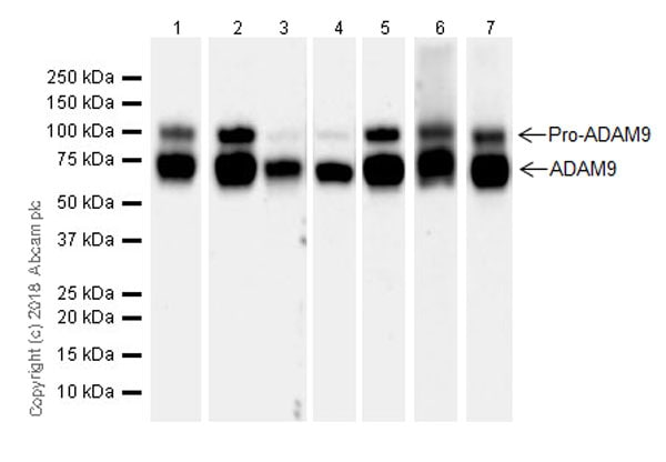Western blot - Anti-ADAM9 antibody [EPR21924-164] (ab218242)