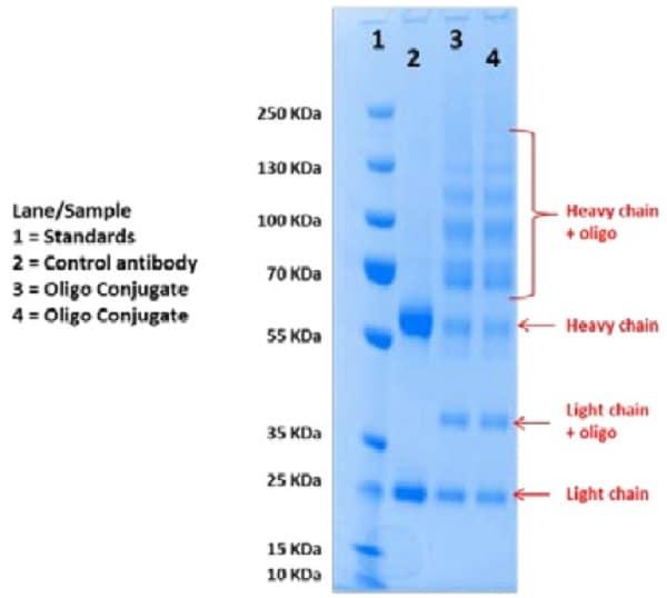 Oligonucleotide Conjugation Kit (ab218260) Reducing SDS-PAGE after Oligonucleotide Conjugation