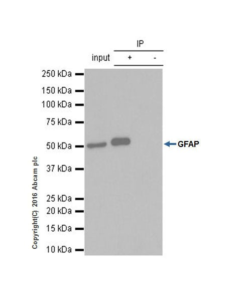 Immunoprecipitation - Anti-GFAP antibody [EPR1034Y] - BSA and Azide free (ab218309)