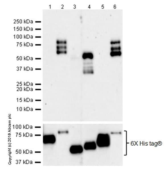 Western blot - Anti-4R Tau antibody [EPR21725] (ab218314)