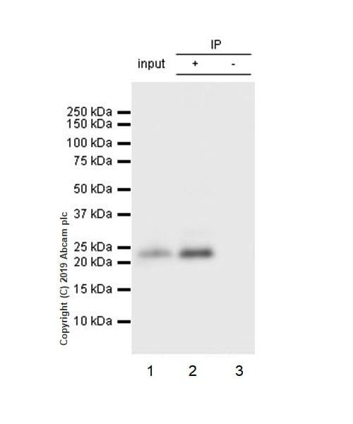 Immunoprecipitation - Anti-PARK7/DJ1 antibody [EP2815Y] - BSA and Azide free (ab218373)