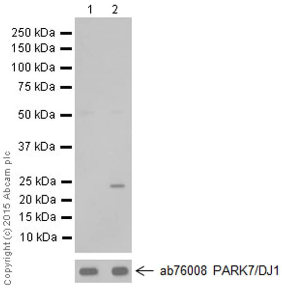 Western blot - Anti-PARK7/DJ1 antibody [MJF-R16 (66-5)] - BSA and Azide free (ab218374)