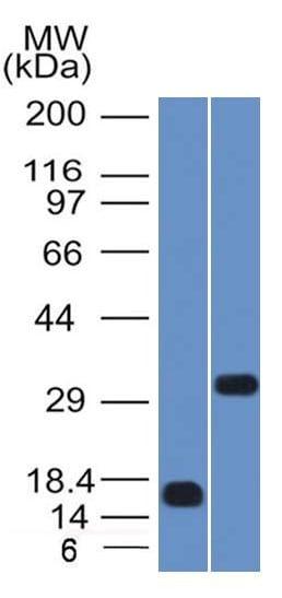 Western blot - Anti-SOX2 antibody [SOX2/1791] (ab218520)