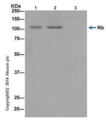 Immunoprecipitation - Anti-Rb antibody [EPR17512] - BSA and Azide free (ab218526)