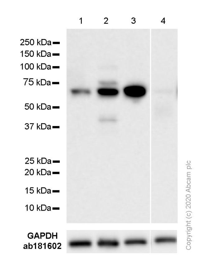 Western blot - Anti-E2F1 antibody [EPR3818(3)] - BSA and Azide free (ab218527)