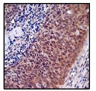 Immunohistochemistry (Formalin/PFA-fixed paraffin-embedded sections) - Anti-ABCG1 antibody [EP1366Y] - BSA and Azide free (ab218528)