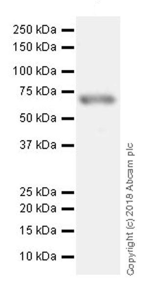Western blot - Anti-NF-kB p65 (acetyl K310) antibody [EPR21781] - ChIP Grade (ab218533)