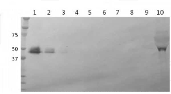 Western blot - Anti-Zika Virus NS1 antibody [B4] (ab218546)