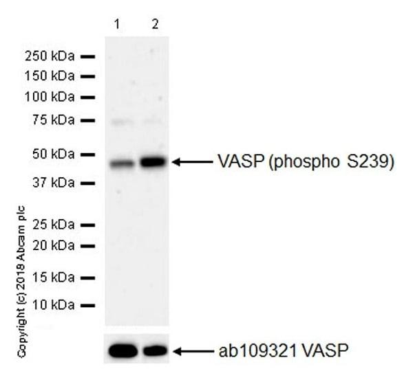 Western blot - Anti-VASP (phospho S239) antibody [EPR21734] (ab218619)