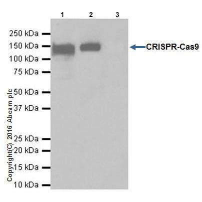 Immunoprecipitation - Anti-CRISPR-Cas9 antibody [EPR19799] - BSA and Azide free (ab218654)