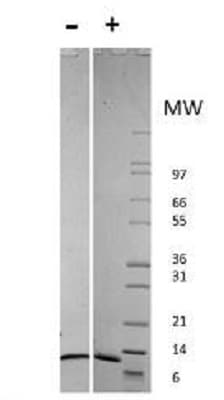 SDS-PAGE - Recombinant human MCP1 protein (Active) (ab218722)