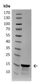 SDS-PAGE - Recombinant Human Alpha-synuclein protein aggregate (Type 2) (ab218817)