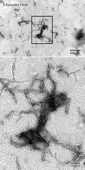Electron Microscopy - Recombinant human Alpha-synuclein protein aggregate (Active) (ab218819)